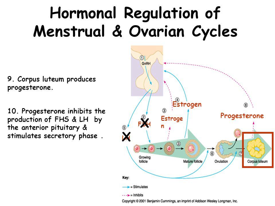 Hormonal Regulation of Ovarian & Menstrual Cycles 11.