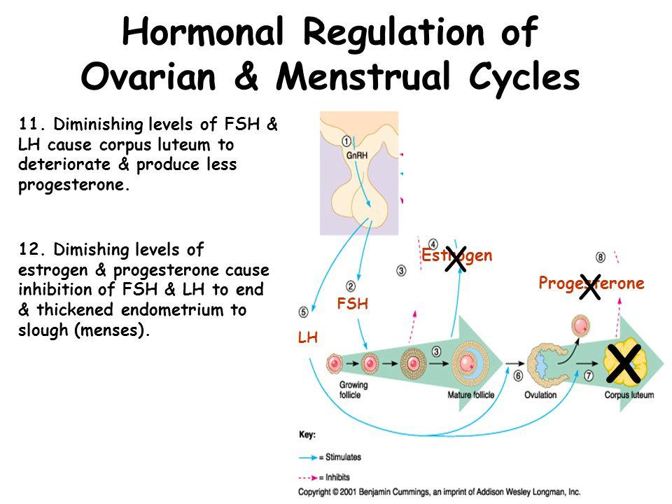 Hormonal Regulation of Ovarian & Uterine Cycles Ovarian & Uterine Cycles FSH 13.