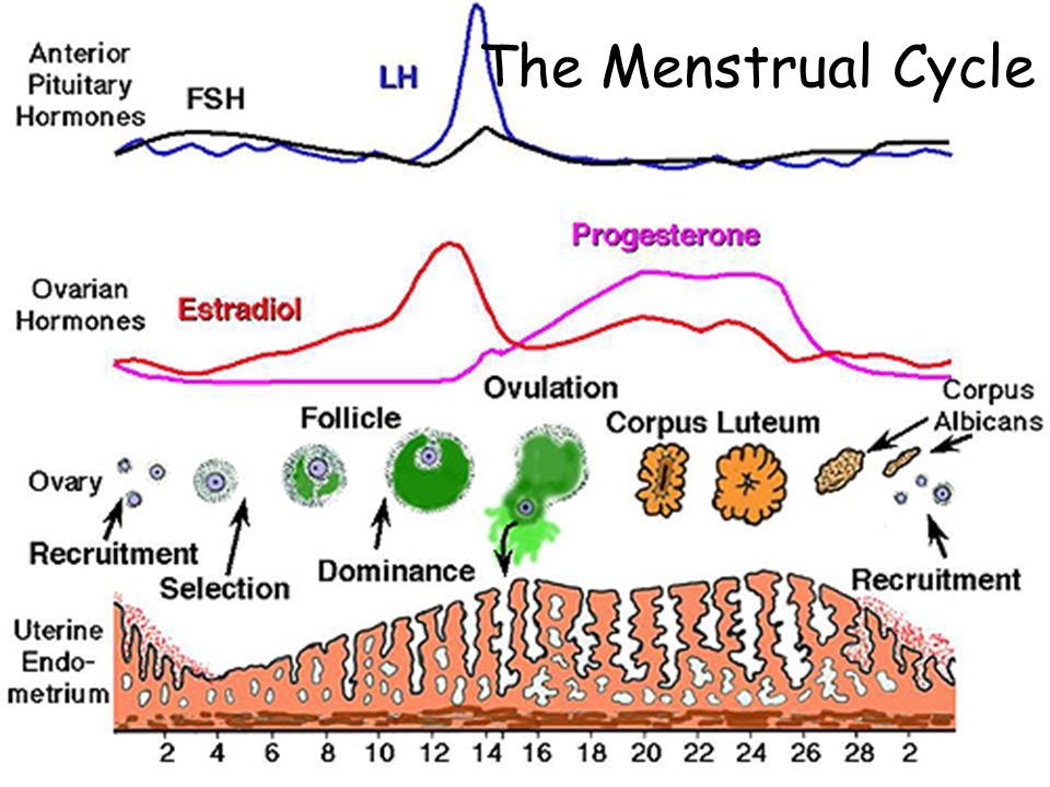 Hormonal Regulation in Pregnancy Normally dimishing levels of estrogen & progesterone from deterioration of the corpus luteum would cause thickened endometrium to slough (menses) which would terminating a pregnancy.