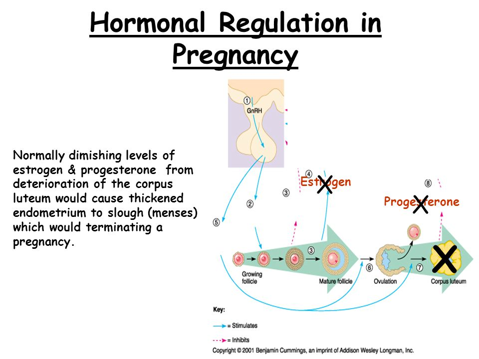 Hormonal Regulation if Pregnancy Occurs Blastocyst produces human Chorionic Gonadotropin (hCG) hormone which maintains corpus luteum in the absence of FSH & LH for the first trimester.