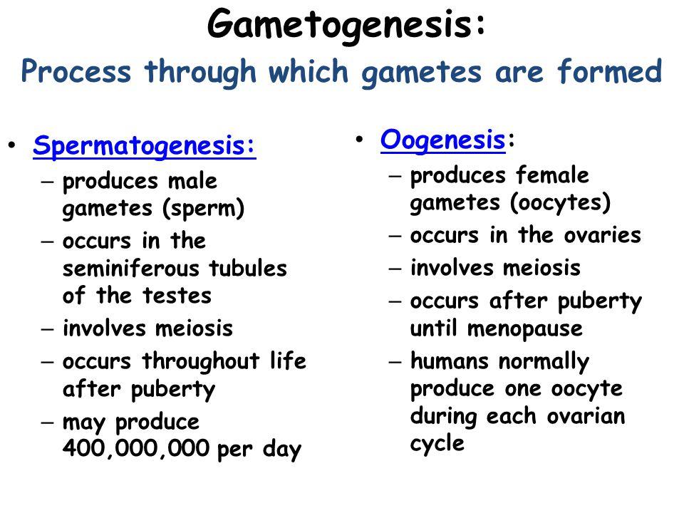 Spermatogenesis Spermatogonium (46) Mitosis Daughter Cells (46)