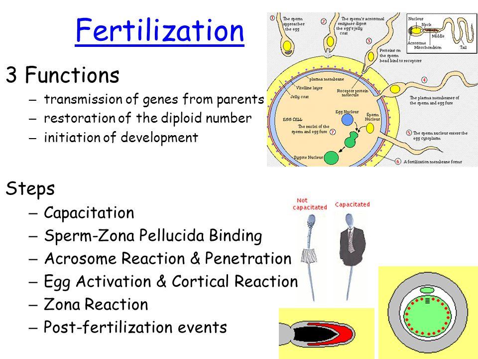 Bone Formation Preembryonic Development