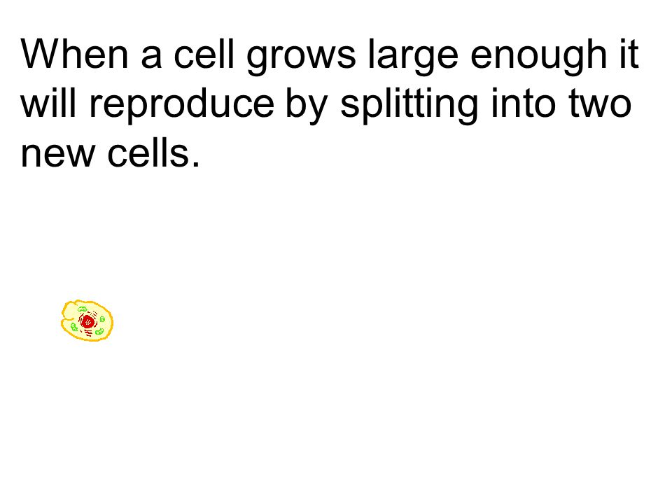 When a cell grows large enough it will reproduce by splitting into two new cells.