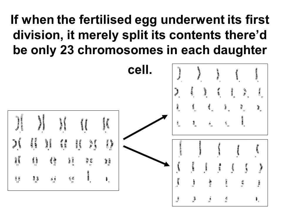 If when the fertilised egg underwent its first division, it merely split its contents there'd be only 23 chromosomes in each daughter cell.