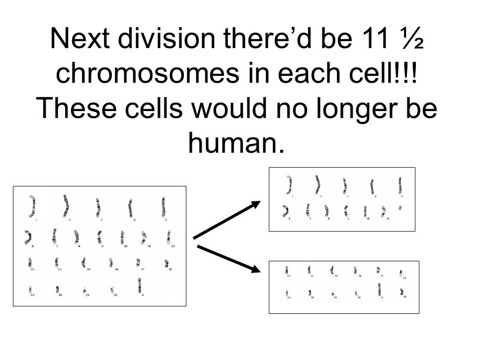 Next division there'd be 11 ½ chromosomes in each cell!!! These cells would no longer be human.