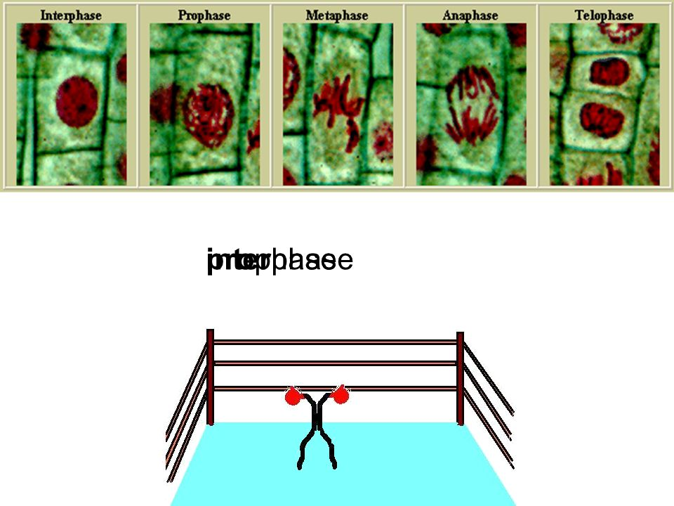 interphaseprophase