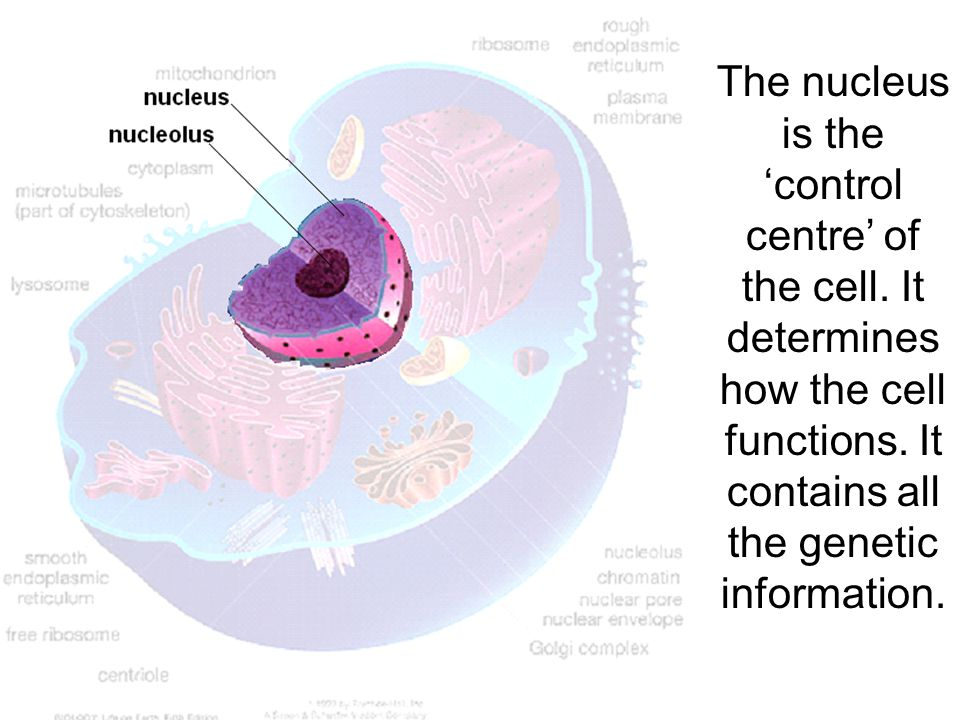 The nucleus is the 'control centre' of the cell.It determines how the cell functions.
