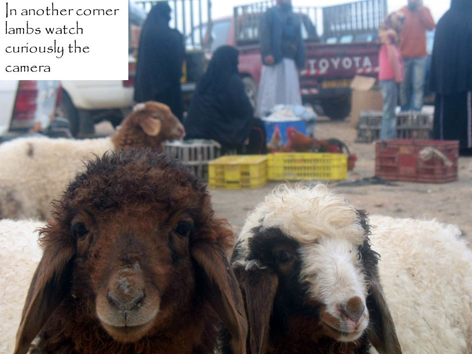 Behind them, an ageless Bedouin women presents her chickens
