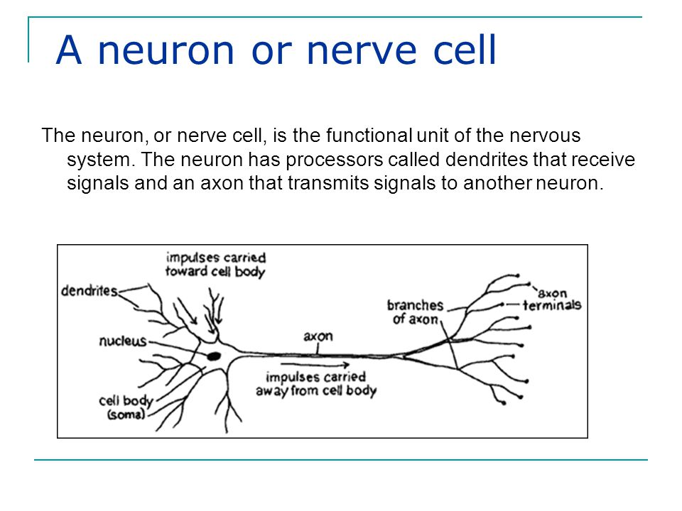 Neurons transmit information to other neurons Neurons transmit information to other neurons.