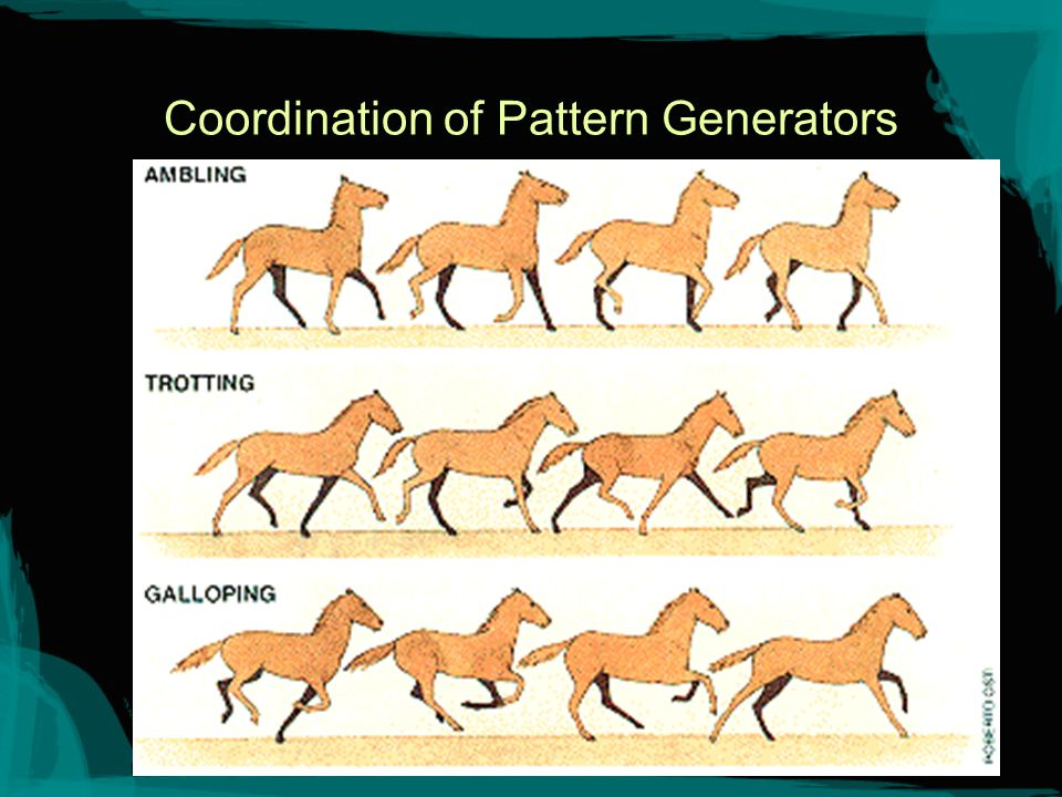 Coordination PATTERN GENERATORS, separate neural networks that control each limb, can interact in different ways to produce various gaits.