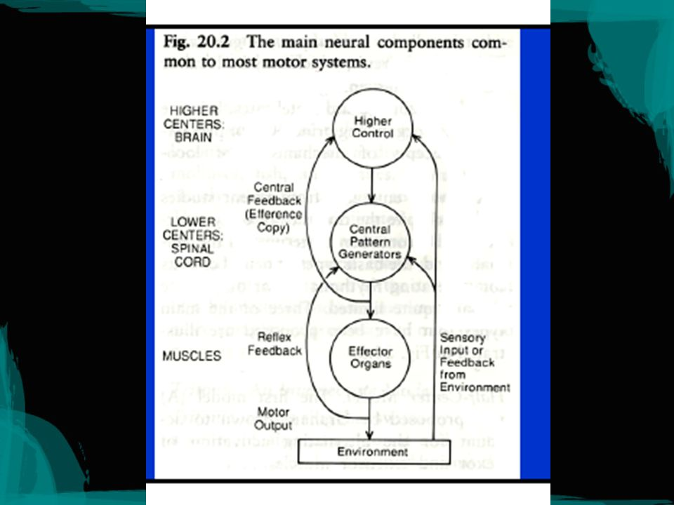 The neural theory Human concepts are embodied.