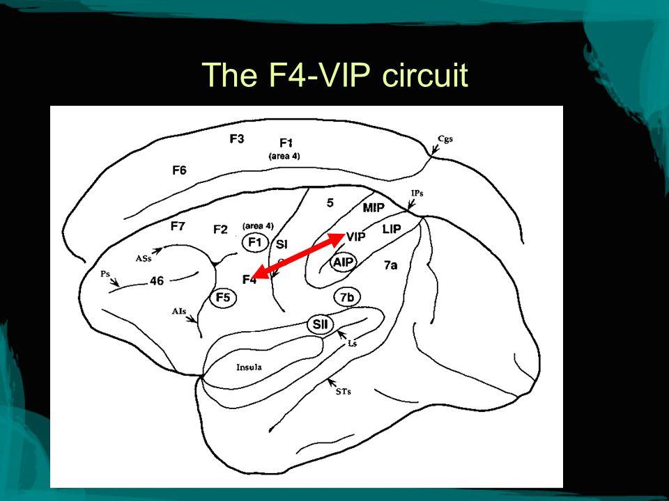 The F4-VIP Circuit Links premotor area F4 and parietal area VIP.