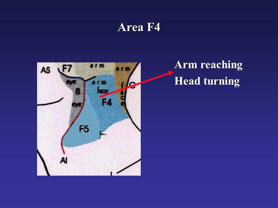 Somato-Centered Bimodal RFs in area F4 (Fogassi et al. 1996)