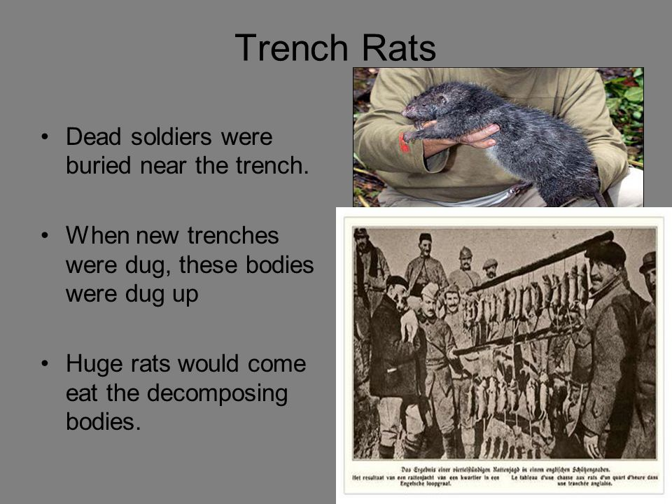 Body Lice Men in the trenches were covered with lice. Caused blotchy red marks all over the body