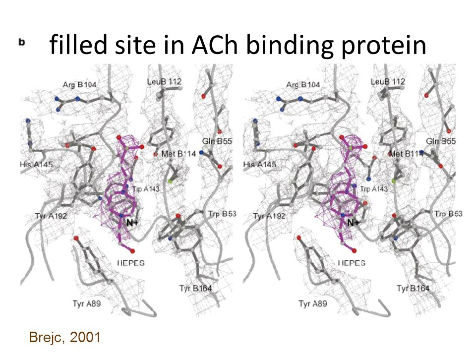 Channel Gating Mechanisms AChR: Proposed gating mechanism (Unwin, 1995) Open Closed
