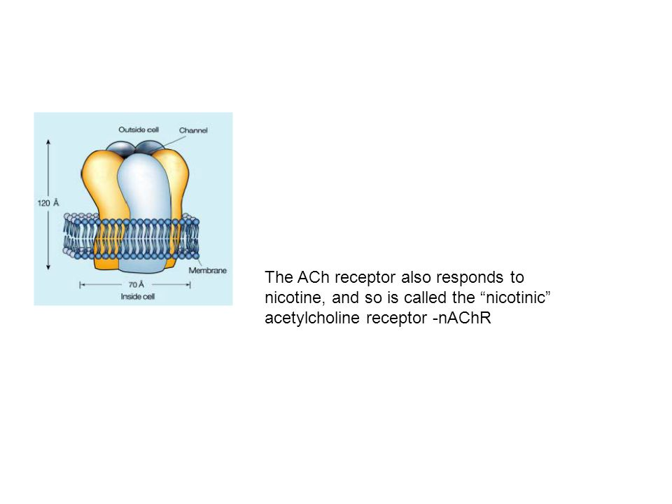 Acetylcholine Receptor