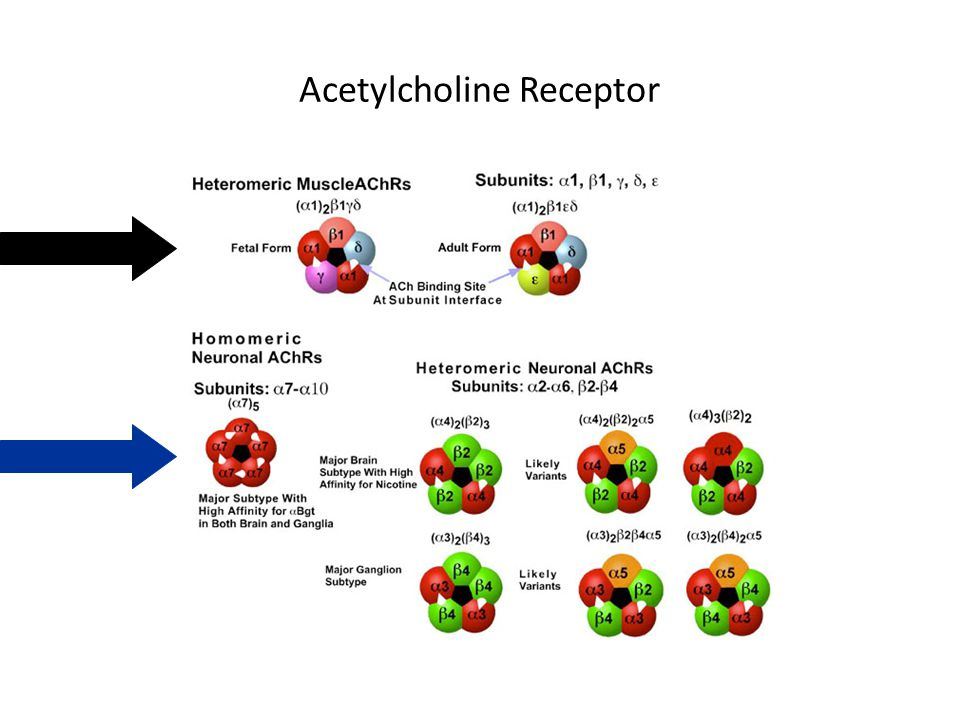 Nicotinic Acetylcholine Receptor A ligand gated ion channel