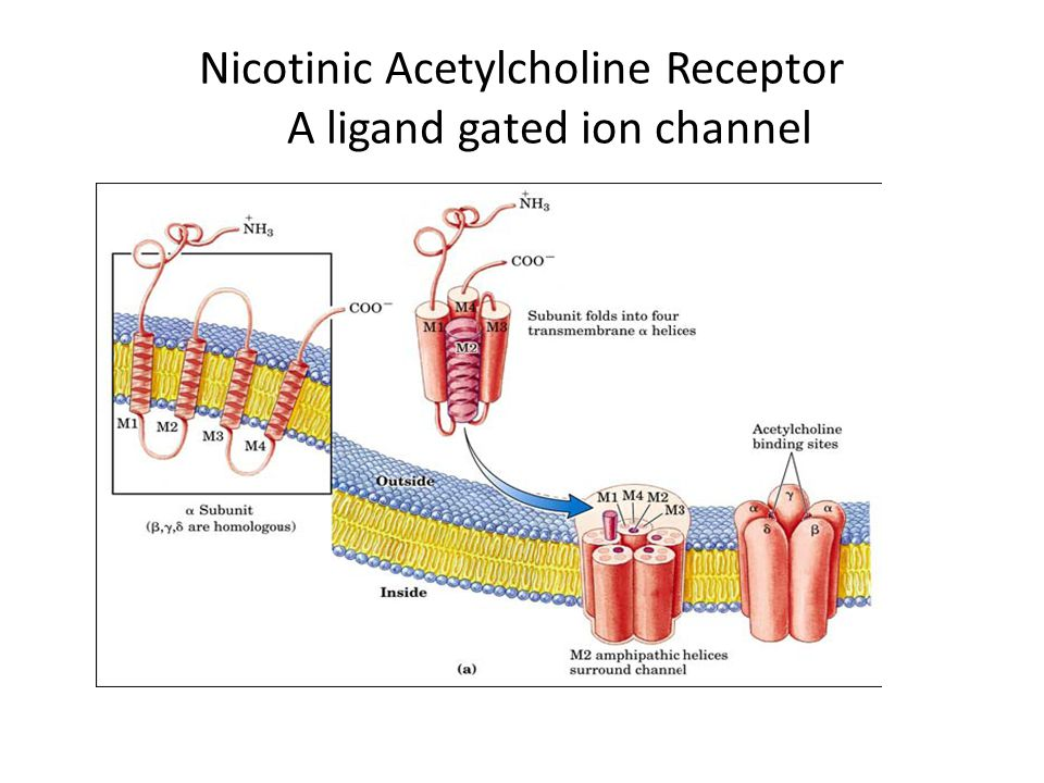 the resting (closed) ion channel to acetylcholine (ACh) produces the excited (open) state.