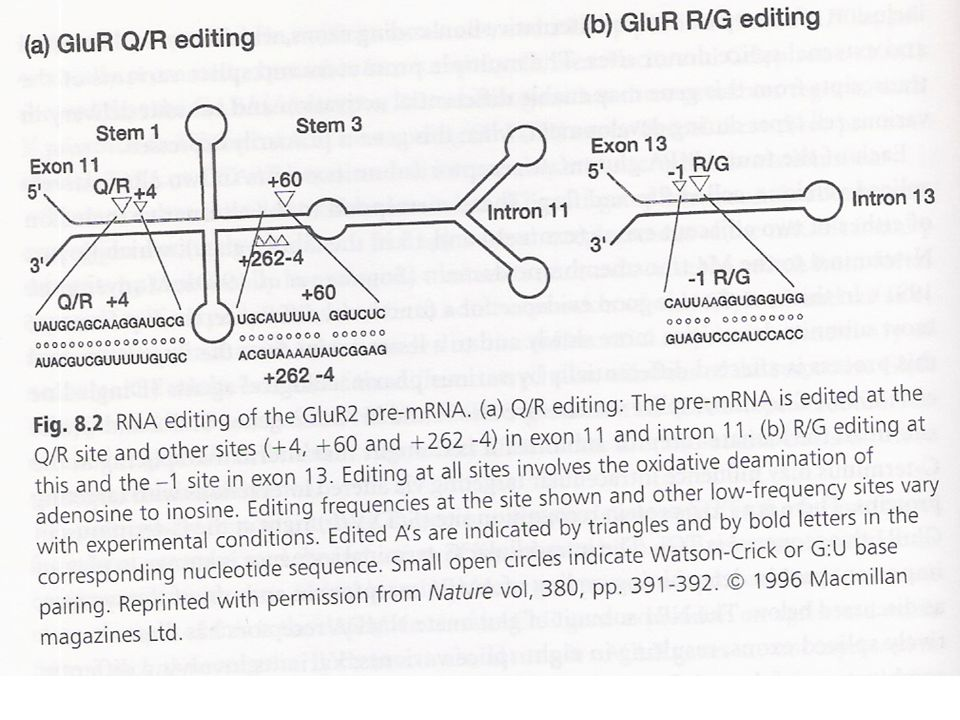 Molecular Diversity and its Control RNA Editing GluR Q/R Editing $ RNA editing sites: GluR2, 5, 6:  replacement of a gln codon (CAG) by an arg codon (CIG=CGG) and insertion of arg (R) into the TM domain Occurs in M2 has low Ca 2+ permeability, low single- channel conductance and linear rectifying properties.