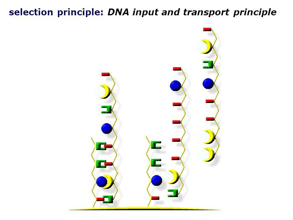 negative selection: DNA input and transport principle