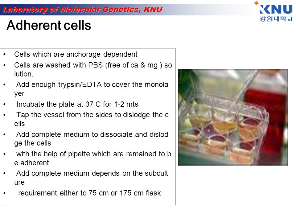 Laboratory of Molecular Genetics, KNU Easier to passage as no need to detach them As the suspension cells reach to confluency Asceptically remove 1/3 rd of medium Replaced with the same amount of pre-warmed medium Suspension cells