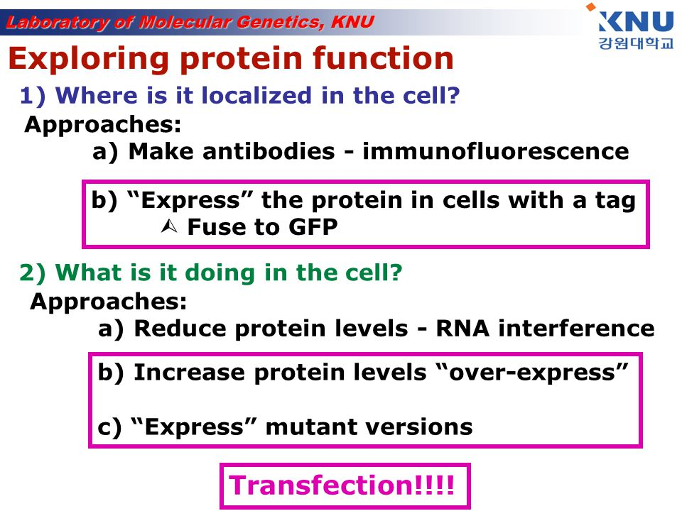 Laboratory of Molecular Genetics, KNU Transfection = Introduction of DNA into mammalian cells Gene is transcribed and translated into protein = expressed