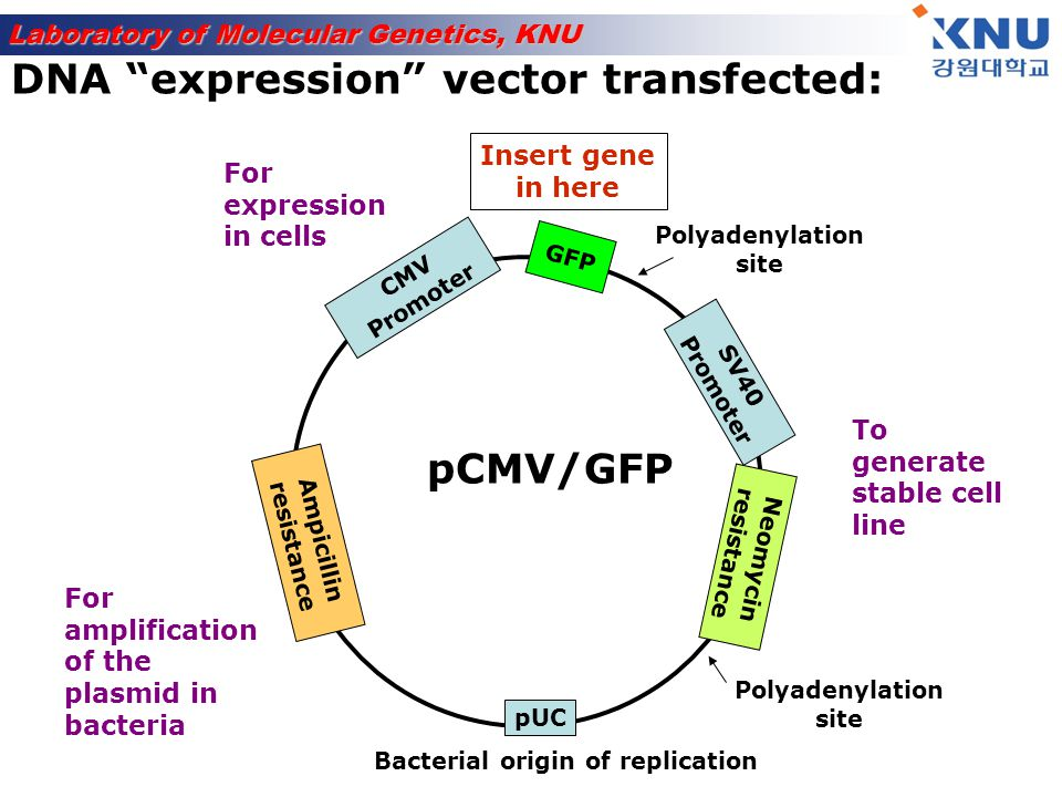 Laboratory of Molecular Genetics, KNU PROTEIN X PROTEIN Y GFP Z PROTEIN Three ways to make Green fluorescent protein GFP fusion constructs: