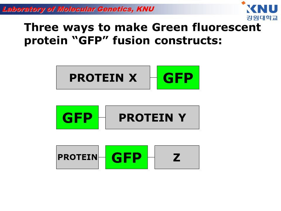 Laboratory of Molecular Genetics, KNU EXPERIMENT: Transfect unknown GFP fusion protein Protein X, Y or Z Visualize GFP protein fluorescence by fluorescence microscopy in living cells Counter-stain with known marker to compare localization patterns in living cells = vital stain