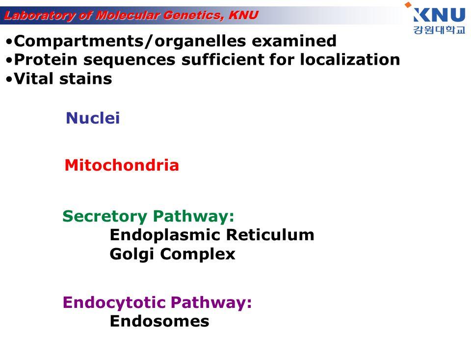 Laboratory of Molecular Genetics, KNU Transport through nuclear pore signal = basic amino acid stretches example: P-P-K-K-K-R-K-V Nucleus