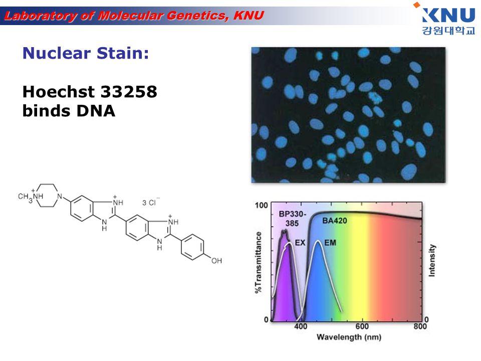 Laboratory of Molecular Genetics, KNU Transmembrane transport signal Example: H 2 N-M-L-S-L-R-Q-S-I-R-F-F-K- P-A-A-T-R-T-L-C-S-S-R-Y-L-L Mitochondria