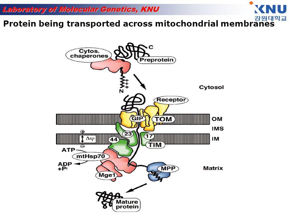 Laboratory of Molecular Genetics, KNU Mitochondrial dye = MitoTracker Red Non-fluorescent until oxidized Accumulates in mitochondria and oxidized Diffuses through membranes Mitotracker DNA