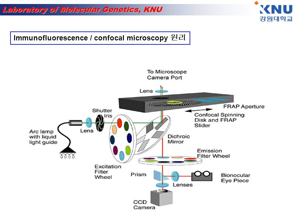 Laboratory of Molecular Genetics, KNU Immunofluorescence / confocal microscopy B or T cells in suspension, adherent cells on chambered coverglass or chamberslides, cryostat sections of unfixed, OCT embedded tissue: 1.