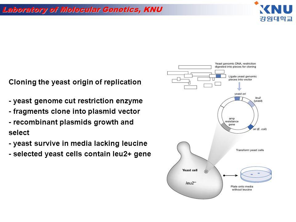 Laboratory of Molecular Genetics, KNU Nematoda worm - Small and easy to keep - Three days to develop Multicellular organism Caenorhabditis elegans Fruit fly Identification of mutant → mutation 특징 확인이 쉬움 - 짧은 시간에 많은 자손 생산 - 알에서 성체가 되기까지 12 일 소요 - Drosophila melanogaster