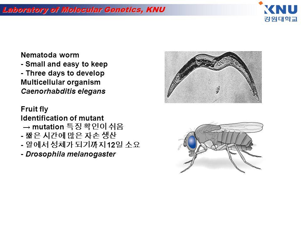 Laboratory of Molecular Genetics, KNU Zebrafish - Reproduction rapidly and high number - vertebrate - 발생 과정이 사람과 유사 - 알이 투명하여 발달 확인 가능 Danio rerio Amphibians - 알의 크기가 큼 → 발생학 연구에 이용 - 1920 년 슈페만 형성체 발견 - Xenopus leavis