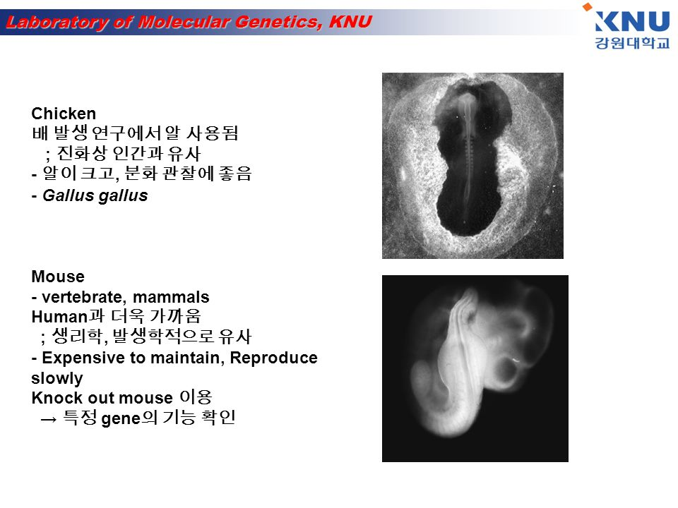 Laboratory of Molecular Genetics, KNU Human cell culture Human blood 나 tissue 에서 분리 Primary culture ; derived directly from living tissue - Grow for a short period time and stop - 세포 분열 횟수 제한 Plants - Grow slowly, long generation time - 세포벽 때문에 형질전환이 어려움 - Large genome - Transposon 연구에 이용 ; corn - Arabidopsis thaliana