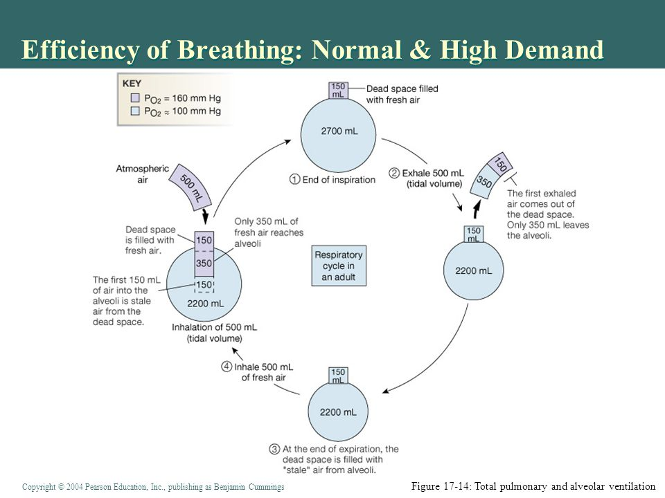 Copyright © 2004 Pearson Education, Inc., publishing as Benjamin Cummings Efficiency of Breathing: Normal & High Demand Figure 17-2 g: Anatomy Summary