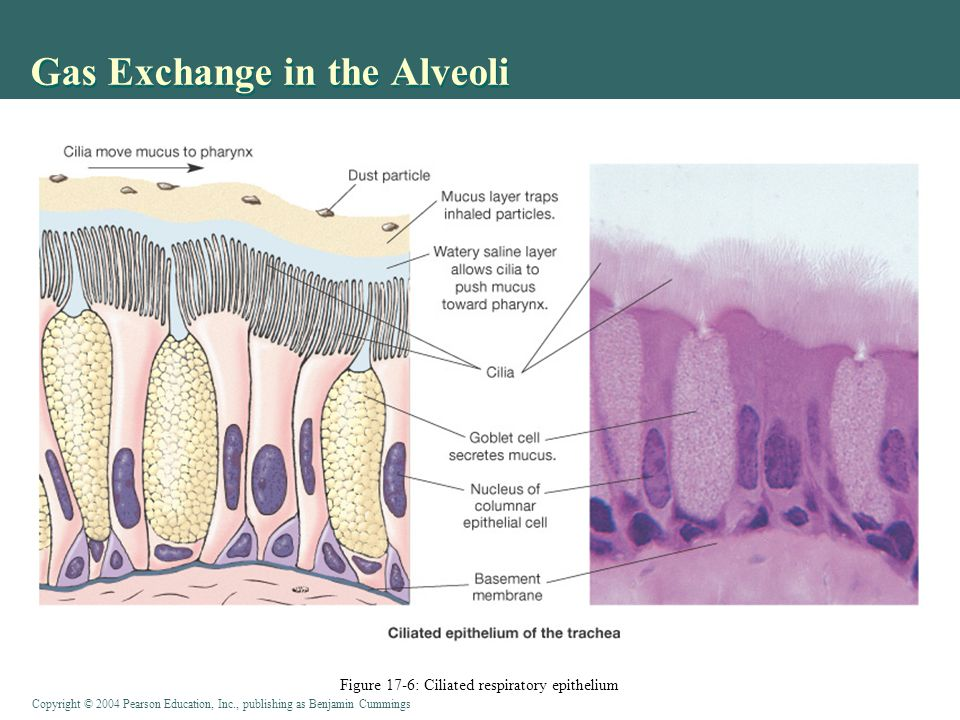 Copyright © 2004 Pearson Education, Inc., publishing as Benjamin Cummings Matching Ventilation with Alveolar Blood Flow (Perfusion) Mostly local regulation Low [O 2 ] in alveoli  vasoconstriction of arteriole Reduced blood flow at rest (lung apex ) saves energy High blood [CO 2 ]  bronchodilation