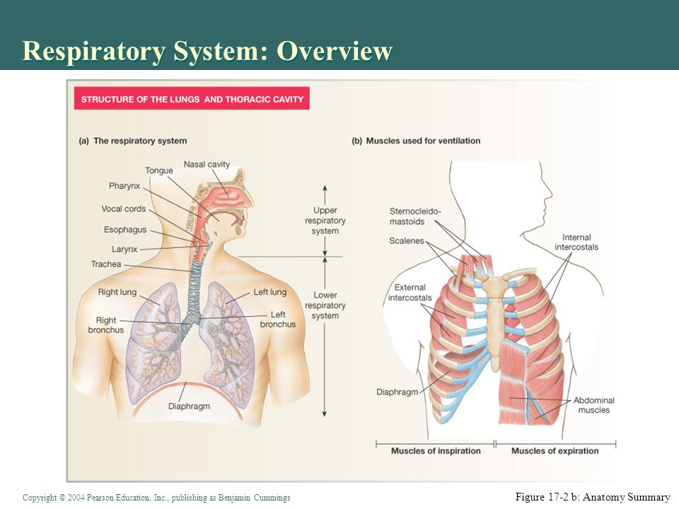 Copyright © 2004 Pearson Education, Inc., publishing as Benjamin Cummings Functions of the Respiratory System: Overview Figure 17-1: Overview of external and cellular respiration Exchange O 2 Air to blood Blood to cells Exchange CO 2 Cells to blood Blood to air Regulate blood pH Vocalizations Protect alveoli