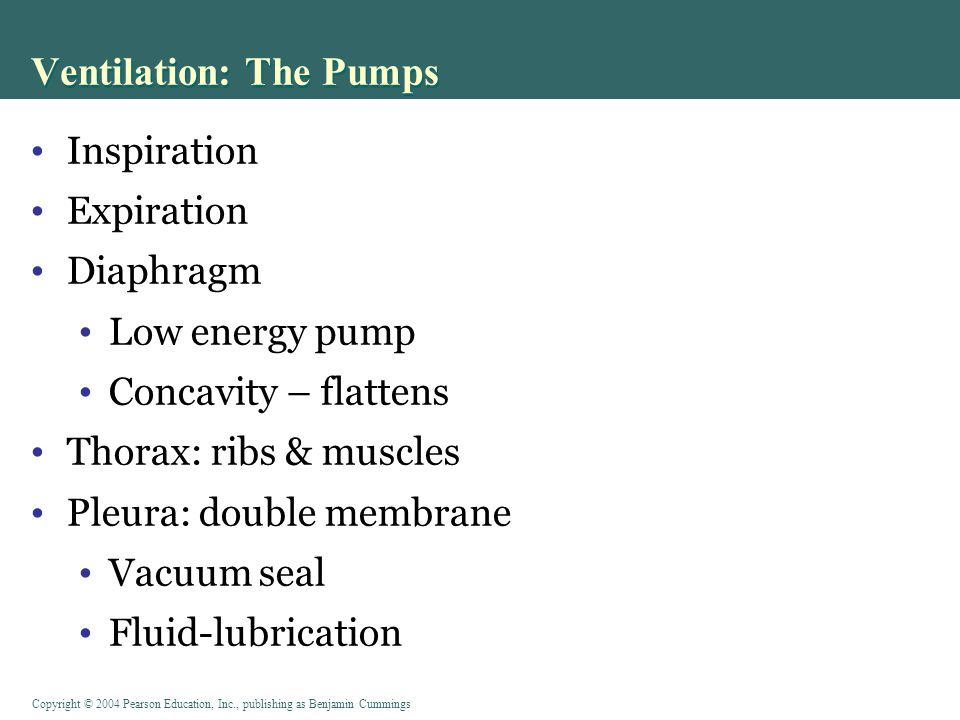 Copyright © 2004 Pearson Education, Inc., publishing as Benjamin Cummings Ventilation: The Pumps Figure 17-11 a: Surfactant reduces surface tension PLAY Animation: Respiratory System: Pulmonary Ventilation
