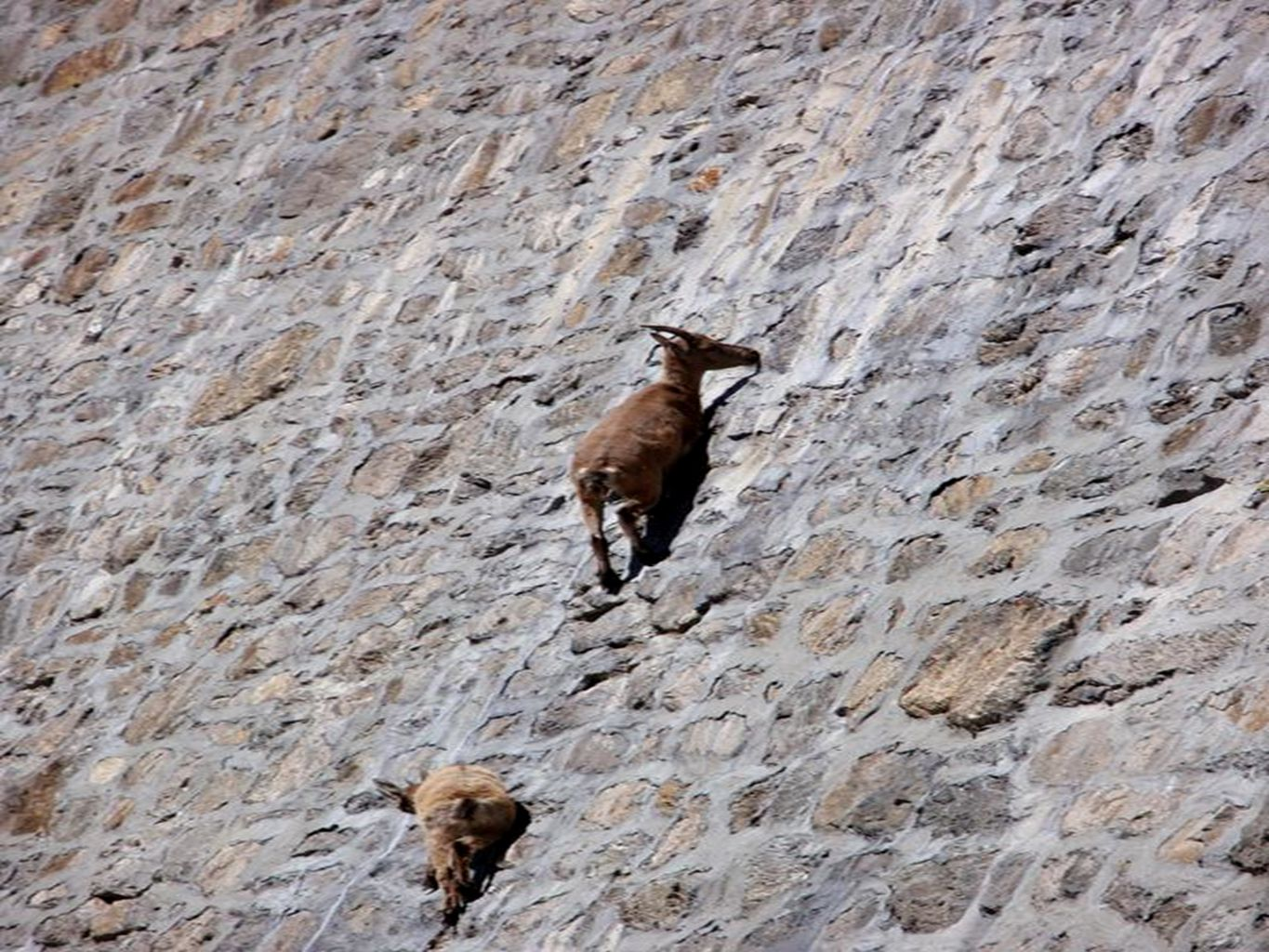 These are European Ibex, and they like to eat the moss and lick the salt on the dam wall