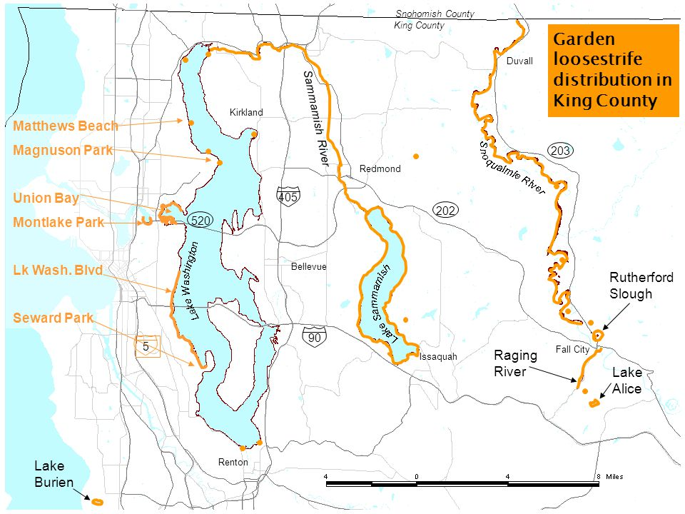 Garden loosestrife Impacts Ecological – displaces native plants and animals; interferes with wetland food web and habitat; clogs small streams Economic – clogs irrigation systems & water control structures; dominates wet pastures