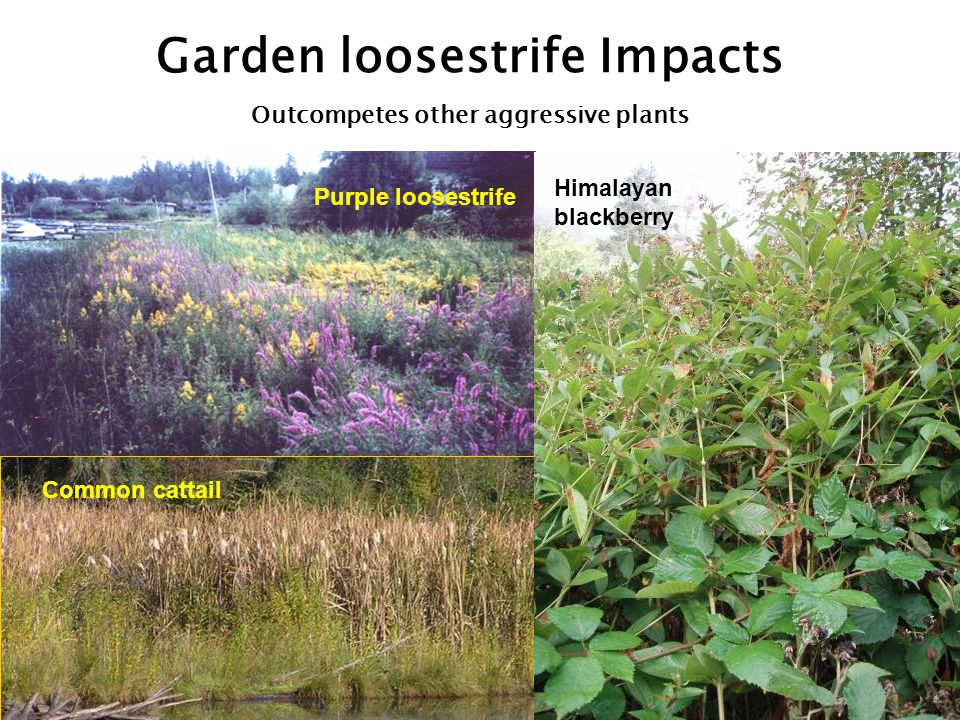 Purple loosestrife Lythrum salicaria Class B Noxious Weed Key characteristics: perennial rhizomatous emergent with showy magenta flower spikes branched stems are square, can root at nodes leaves opposite, lanceolate up to 2.5 million tiny seeds/plant flowers July and August