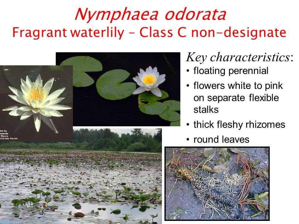 Nuphar lutea spatterdock, yellow pond lily – Native Key characteristics: very large heart-shaped leaves ball-shaped yellow flowers stems rigid enough to hold leaves out of water when water level drops