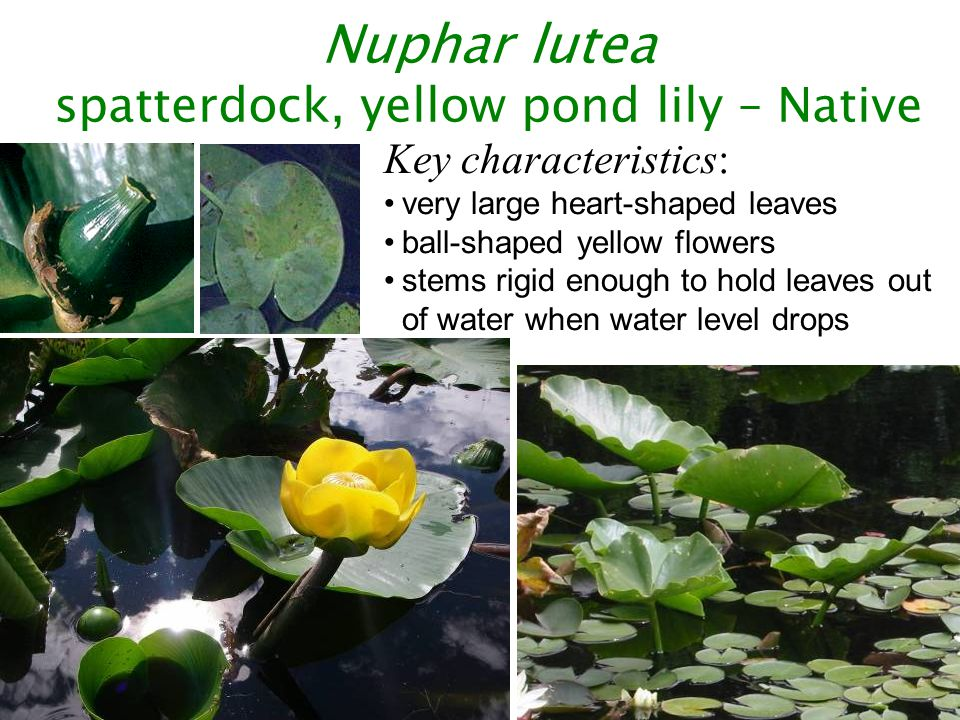 Key characteristics: 14 or more leaflet pairs leaves whorled usually red stem, branched leaves generally collapse against stem when pulled from water flower spike held above water Myriophyllum spicatum Eurasian watermilfoil – Class B non-designate