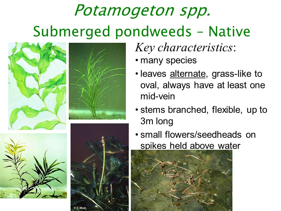 A Few Less Common Regulated Aquatic and Shoreline Weeds
