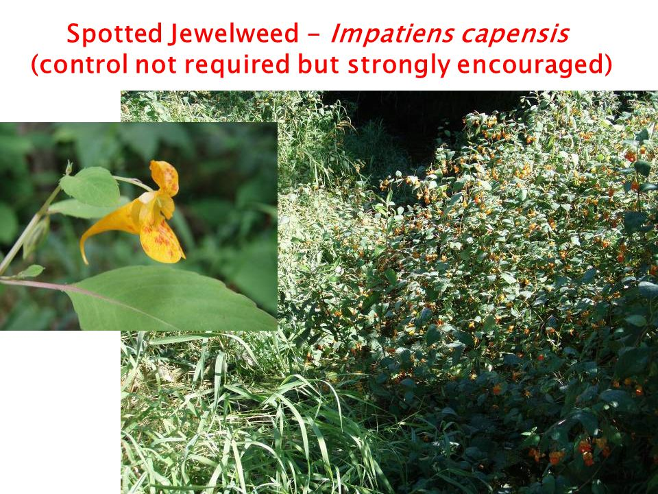 Invasive Knotweed – Class B Non-Designate (control not required but strongly encouraged)