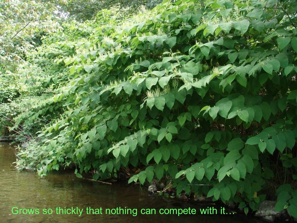 Except maybe garden loosestrife!