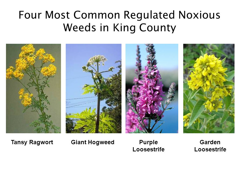 Other King County Weed List Categories Non-Regulated Noxious Weeds –State-listed Class B and C weeds that are widespread in the county; control recommended but not required –For example: milfoil, knotweed Weeds of Concern –Not technically noxious weeds according to state law; considered invasive vegetation in King County; control desirable especially in natural or agricultural areas