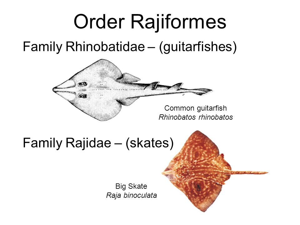 Rhinobatidae Family Rhinobatidae – (guitarfishes) Common guitarfish Rhinobatos rhinobatos To 225 kg (500 lb) to 3 m (9.8 ft) in length, Ovoviviparous Bottom feeders, preferring small crustaceans Teeth are small and numerous, arranged in 65 or 70 rows Body form intermediate between those of sharks and rays Tail has a typical ray-like form, head has a triangular shape