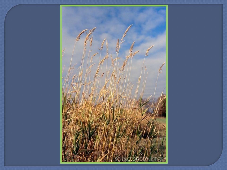  Similar in appearance to perennial ryegrass but has awned seeds  A more erect growth habit and less aggressive growth pattern.